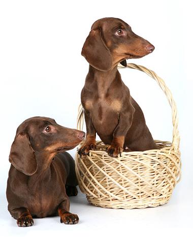 Выбираем щенка (для тех, у кого никогда не было таксы)