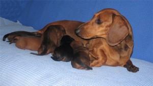 Послеродовой уход за таксой роженицей и щенками
