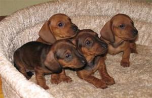 Роды у собак (подготовка и послеродовой периоды)