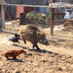 Такса - собака охотничья