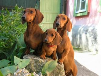 Все о таксах. Краткий экскурс в породу собак