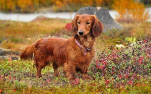Приучение собак к громким звукам