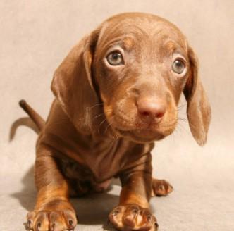 Выращивание и воспитание щенка таксы