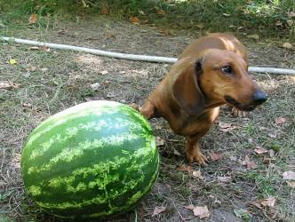 Недоедание и прожорливость у собак