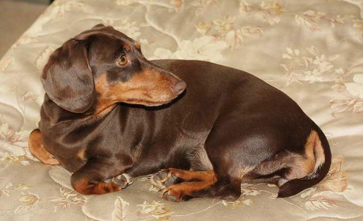 Лечение опухолей молочных желез у собак