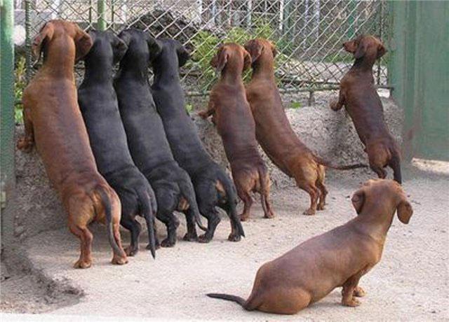Общественная иерархия у собак