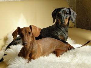 Гинекология собак