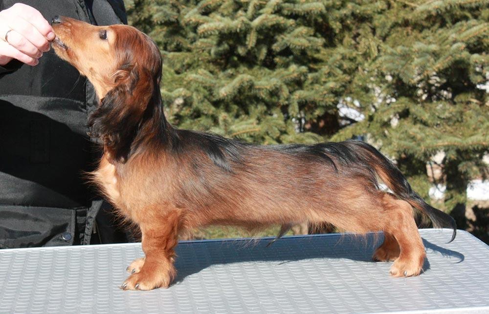 Kaninchen- dachshund (teckel) langhaar - такса кроличья длинношерстная