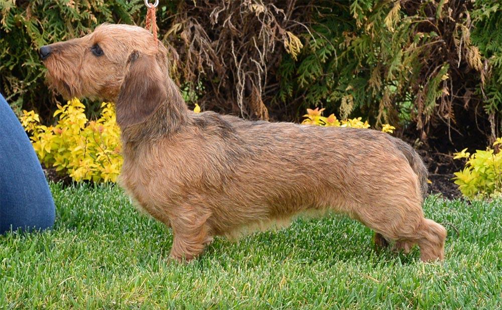 Kaninchen- dachshund (teckel) rauhhaar - такса кроличья жесткошерстная