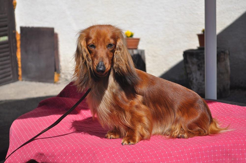 Zwerg-dachshund (teckel) langhaar - такса миниатюрная длинношерстная
