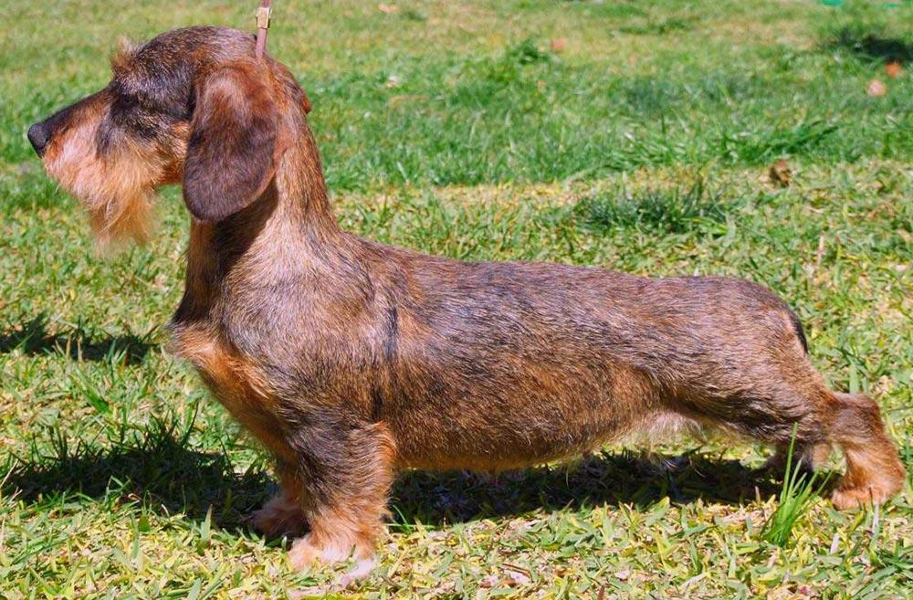 Zwerg-dachshund (teckel) rauhhaar - такса миниатюрная жесткошерстная