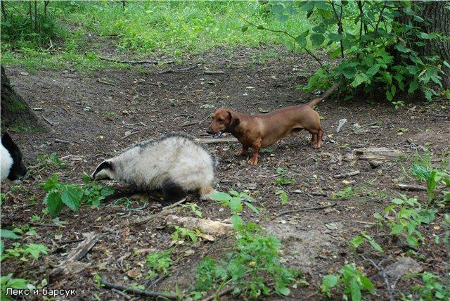 Охота с таксой на барсука, лису