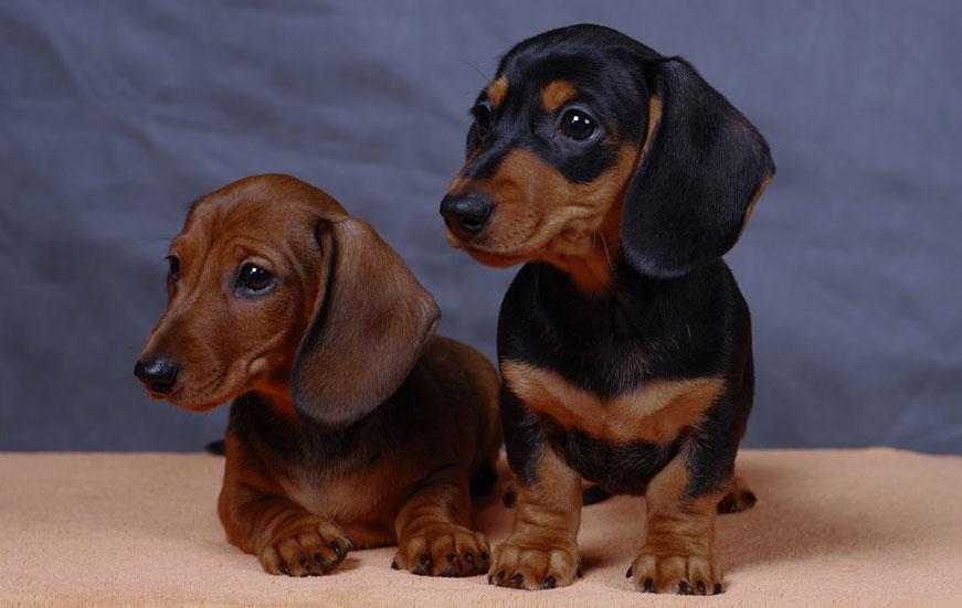 Такса карликовая (миниатюрная) (Miniature dachshund)
