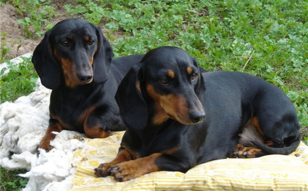 Такса стандартная (Normal dachshund)