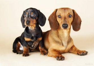 Обучение собаки садиться и ложиться по команде