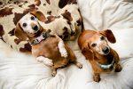 Сколько живут собаки? Продолжительность жизни собак