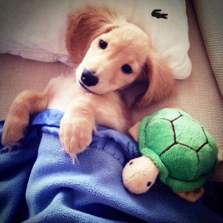 Воспитание щенка таксы