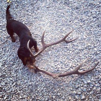 Рога оленя или лося для таксы, польза или вред