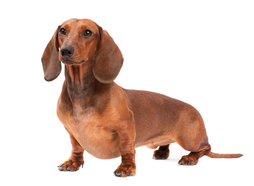Язык собак