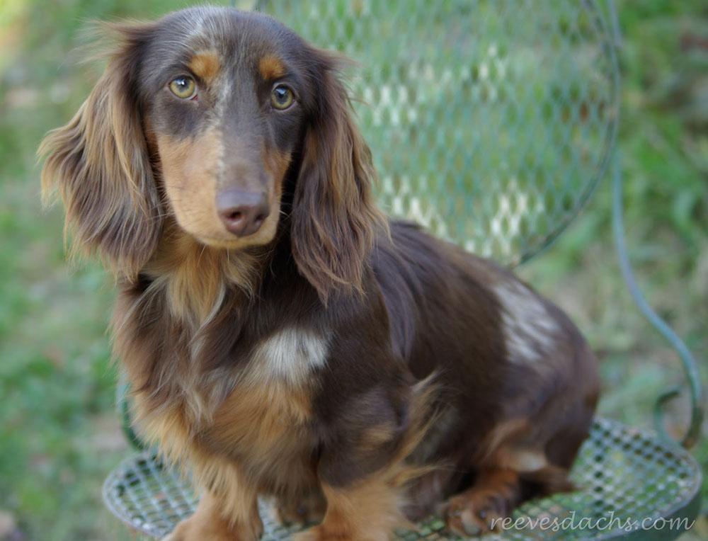 Такса - кормление взрослой собаки