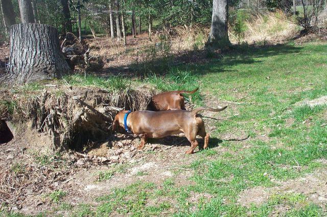 Охота на барсука у норы c собаками