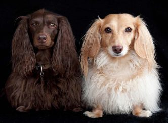 Как дрессировать щенка таксы и взрослую собаку
