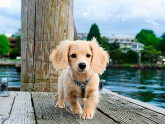 Как выбирать щенка таксы